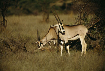 Antelope Facts