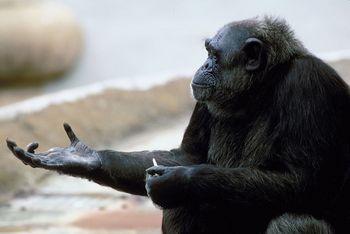 Chimpanzee Facts