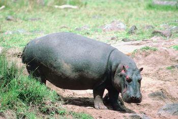Hippopotamus Facts