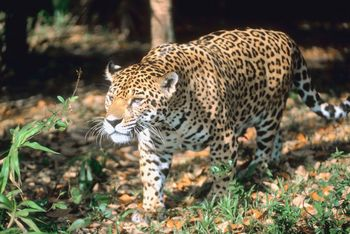 What Do Jaguars Eat >> Jaguar Facts