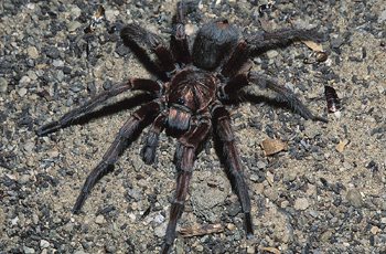 Tarantula & Tarantula Facts